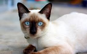 แมวสายพันธุ์วิเชียรมาศ แมวตามตำรับแมวไทย