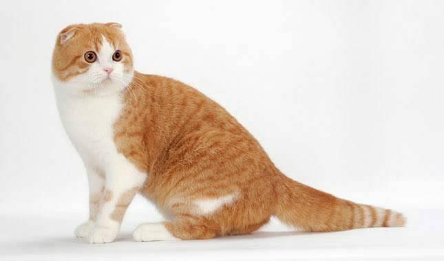 แมวสายพันธุ์สก็อตติช โฟลด์ นี้จะไม่มีความซนเหมือนแมวสายพันธุ์อื่นๆ ด้วยพื้นฐานจะไม่มีการส่งเสียงร้องเหมือนแมวอื่นๆ