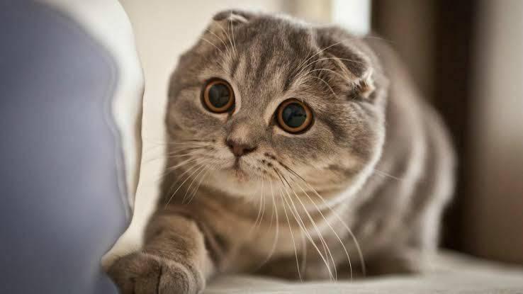 แมวสายพันธุ์สก็อตติช โฟลด์ แมวบางสายพันธุ์ที่มีใบหูที่พับลงไป
