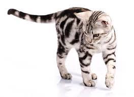 คนที่เลี้ยง แมวสายพันธุ์อเมริกันช็อตแฮร์ นี้ควรที่จะหมั่นแปรงขน และดูแลเอาใจใส่