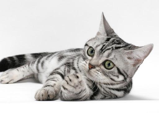 นิสัยของ แมวสายพันธุ์อเมริกันช็อตแฮร์ เป็นแมวที่มีความร่าเริง เป็นมิตรกับคนเลี้ยงและไม่ดุร้าย