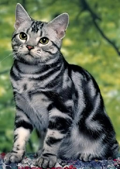 แมวสายพันธุ์อเมริกันช็อตแฮร์ แมวสายพันธุ์นี้ มีความแข็งแรง เพราะมีขาที่มีความใหญ่