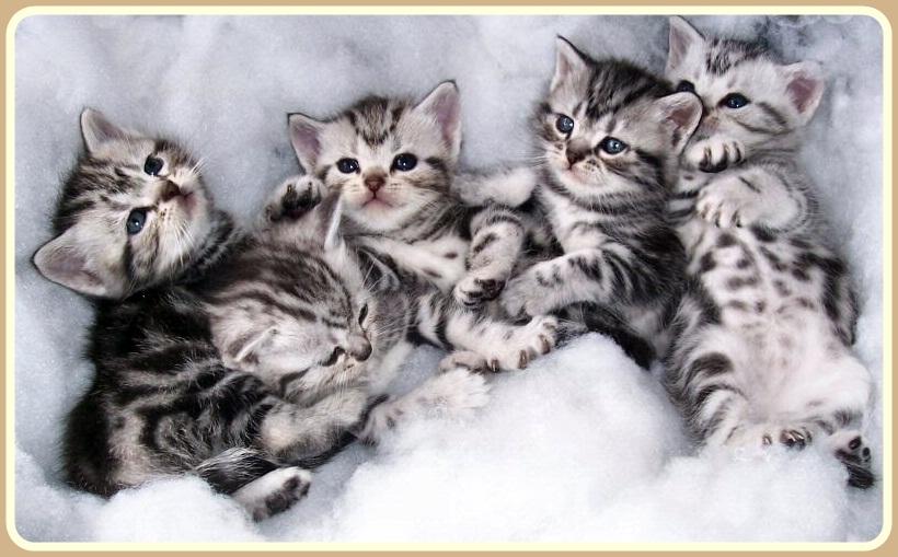 แมวสายพันธุ์อเมริกันช็อตแฮร์