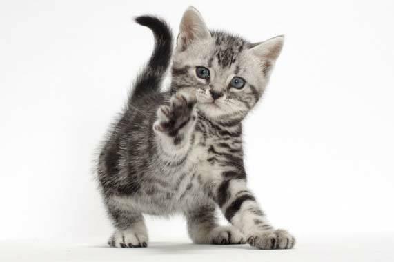 แมวสายพันธุ์อเมริกันช็อตแฮร์ คือ แมวขนสั้นที่มีความแข็งแรง เป็นแมวพื้นเมืองของอเมริกาที่มีชื่อเสียง