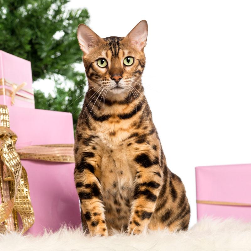 แมวเบงกอล ที่มีลายคล้ายเสือ