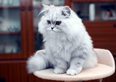แมวเปอร์เซีย เพราะด้วยขนที่มีความนุ่มก็ยิ่งทำให้มันดูมีเสน่ห์ ที่ทาสแมวจะต้องตกหลุมรัก