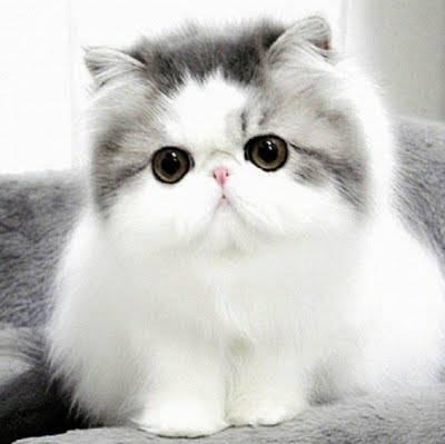 แมวเปอร์เซีย มีความแข็งแรงมากๆ ดวงตาที่มีความกลมและโตอย่างเห็นได้ชัด ทำให้แมวเปอร์เซีย มีความโดดเด่น