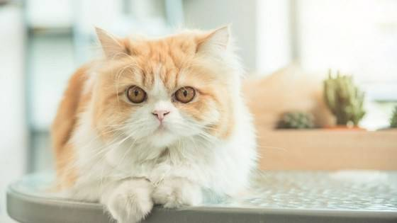 แมวเปอร์เซีย แมวที่มีขนนุ่มขนปุยน่ากอด