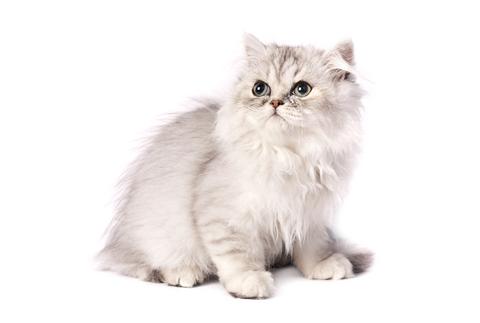 แมวเปอร์เซีย เป็นสายพันธุ์หนึ่งที่คนแถบยุโรปชอบเลี้ยง เพราะมีแก้มที่มีความกลมมน และหัวมีความกลม