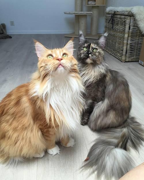 แมวเมนคูน นั้นมีความเกี่ยวข้องกับแรคคูน เพราะแมวไปมีความสัมพันธ์กับเจ้าแร็กคูนจึงทำให้เป็น แมวเมนคูน