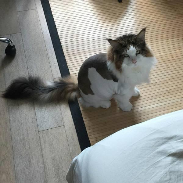 แมวเมนคูน เป็นแมวที่บอกได้เลยว่าจะมีลักษณะของสีขนที่มีความคล้ายกับเจ้าแร็กคูน