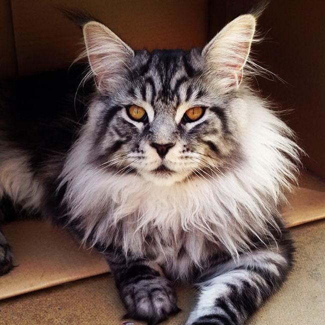 แมวเมนคูน แมวที่มีการให้ชื่อสายพันธุ์แร็กคูน