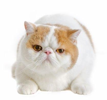 แมวเอ็กซ์โซติก แมวที่ใบหน้าไร้อารมณ์
