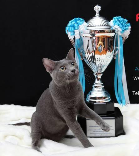 แมวโคราช เป็นแมวที่มีชื่อเสียงในระดับโลก เป็นแมวที่มีชื่อเสียงในประเทศไทยและต่างประเทศ