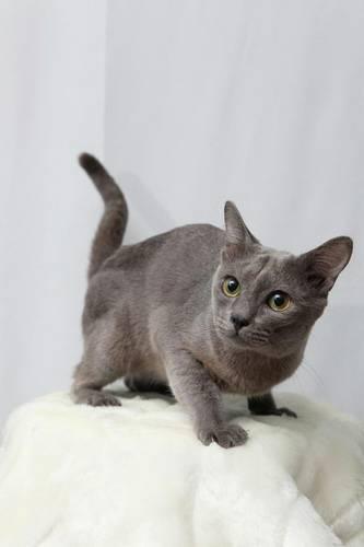 แมวโคราช เป็นแมวที่มีลักษณะหางอันโดดเด่นด้วยหางที่มีลักษณะงอ