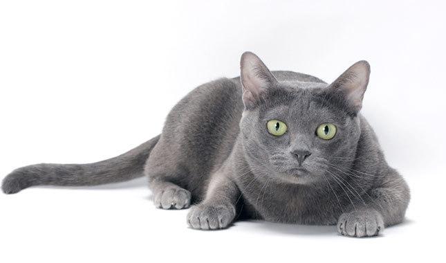 แมวโคราช มีลักษณะโดดเด่นของหาง