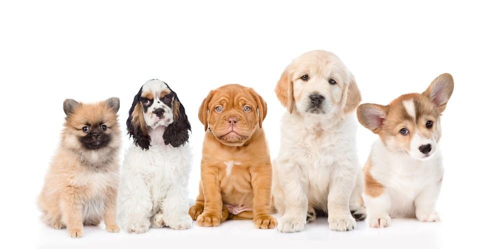 การจำหน่ายลูกสุนัข ลูกสุนัขต้องมีอายุได้ประมาณ 60 วันขึ้นไป