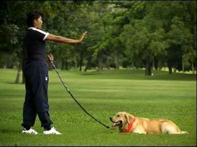 การฝึกสุนัข ฝึกเบื้องต้นคำสั่งที่สาม คือ การฝึกให้สุนัขหมอบ