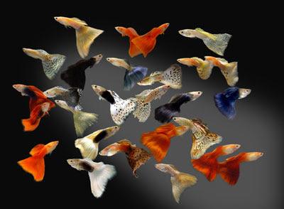 การเพาะพันธุ์ปลาหางนกยูง ปลาที่สามารถออกลูกเป็นตัวได้