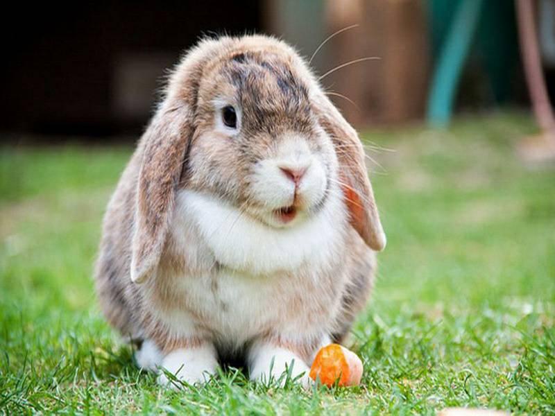 การเลี้ยงกระต่าย เป็นสัตว์เลี้ยงที่มีความน่ารัก