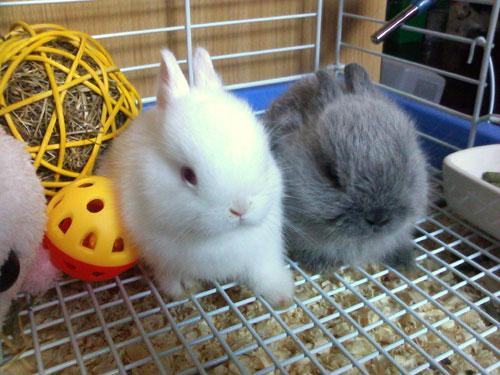 การเลี้ยงกระต่าย จะต้องเน้นในเรื่องของการทำความสะอาด