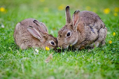 การเลี้ยงกระต่าย จะต้องเตรียมที่ดินที่มีหญ้าขึ้นเล็กๆ