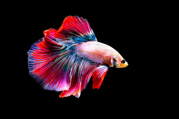 การเลี้ยงปลากัด ปลาน้ำจืดขนาดเล็กที่มีสีสันสวยงาม