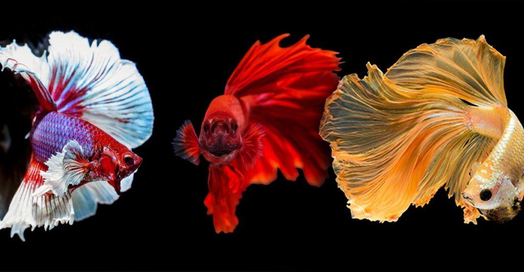 การเลี้ยงปลากัด มีสายพันธุ์ปลากัดที่แตกต่างกันไป
