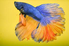 การเลี้ยงปลากัด เป็นปลาน้ำจืดขนาดเล็กอีกสายพันธุ์หนึ่ง ที่มีสีสันสวยงาม