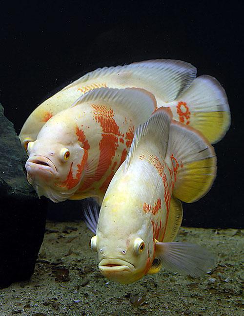 การเลี้ยงปลาออสก้า ก็จะต้องศึกษาวิธีการผสมพันธุ์ปลาออสก้า