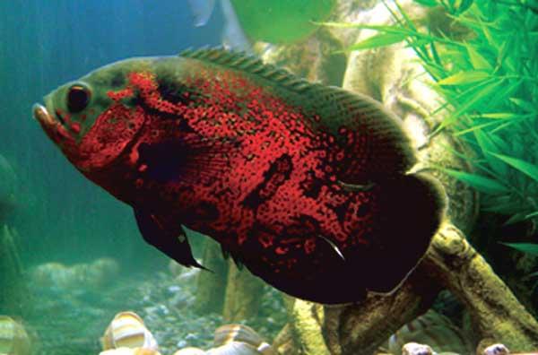 การเลี้ยงปลาออสก้า เมื่อถึงฤดูผสมพันธุ์ให้ปล่อยปลารวมกัน