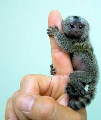 การเลี้ยงลิงมาโมเสท ที่ผู้เลี้ยงจะต้องให้ความรักความเอาใจใส่