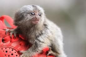 การเลี้ยงลิงมาโมเสท ลิงจิ๋วที่ต้องการความเอาใจใส่