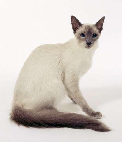 แมวสายพันธุ์ไหนเหมาะกับคุณที่สุด แมวที่ชอบอยู่กับคน ขี้เล่น สายพันธุ์ที่สี่ คือ บาลิเนส