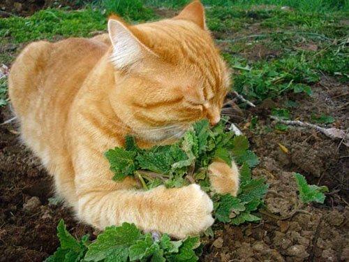 อาหารของแมว อาหารโปรดที่แมวชอบ อาหารชนิดที่สี่ คือ ผัก