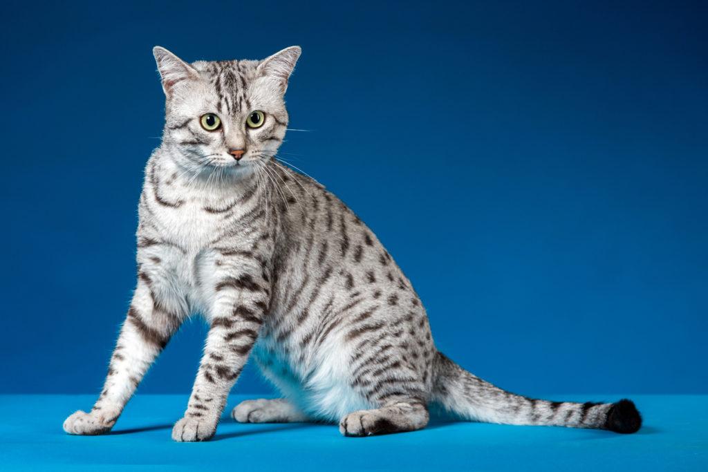 แมวสายพันธุ์ไหนเหมาะกับคุณที่สุด เพราะแมวสายพันธุ์แรก คือ สายพันธุ์แมวอียิปต์เซียนมัว เป็นสายพันธุ์แมวชอบเข้าสังคม