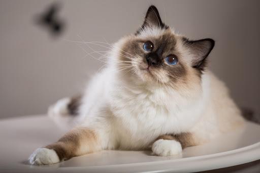 แมวสายพันธุ์ไหนเหมาะกับคุณที่สุด แมวที่ชอบอยู่กับคน ขี้เล่น สายพันธุ์ที่สองคือ สายพันธุ์แมวเบอร์แมน