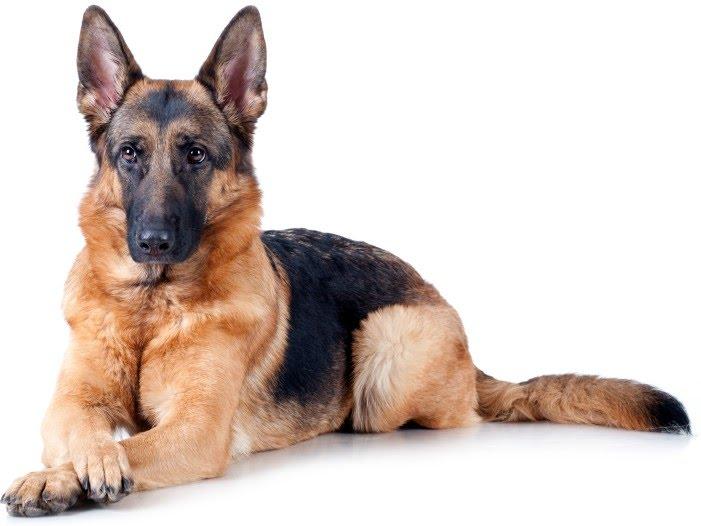 สุนัขสายพันธุ์เยอรมันเชพเพอด สุนัขอารักขาเจ้าของ