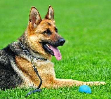 สุนัขสายพันธุ์ เยอรมันเชพเพอด มีความอดทนและความแข็งแกร่ง