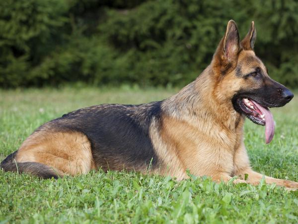 สุนัขสายพันธุ์ เยอรมันเชพเพอด มีรูปร่าง และน้ำหนักตัวพอสมควร