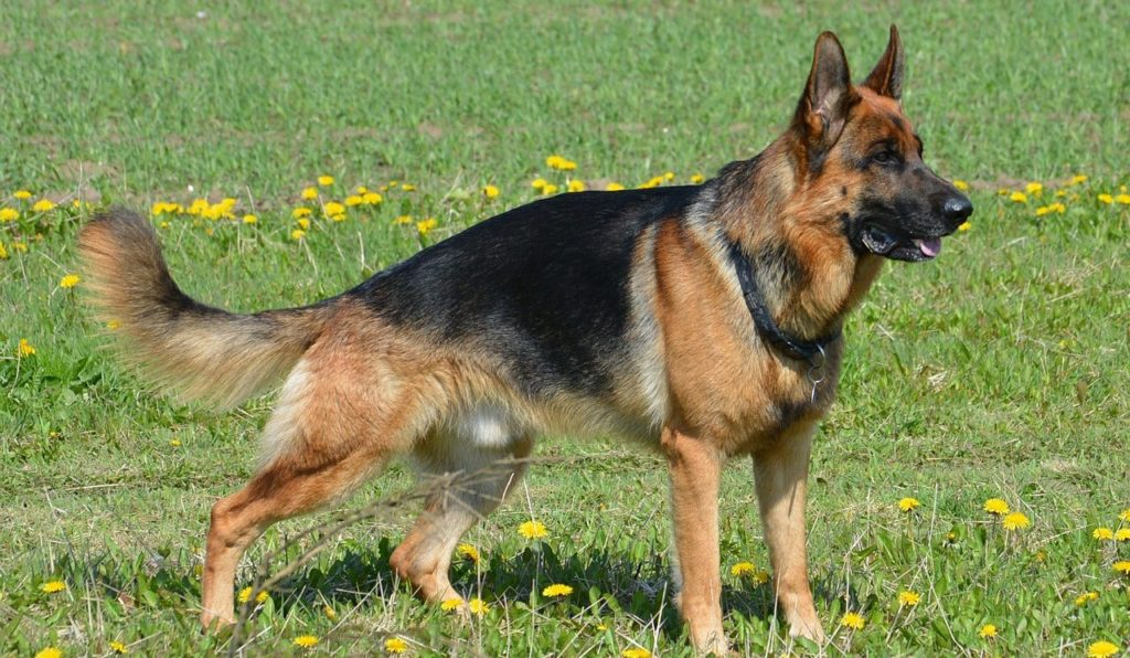 สุนัขสายพันธุ์ เยอรมันเชพเพอด เป็นสุนัขอารักขา