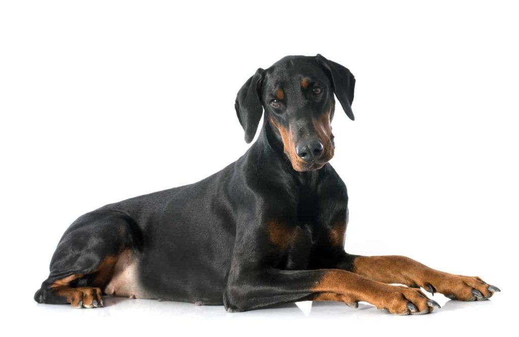 สุนัขสายพันธุ์ โดเบอร์แมน พรินเชอร์