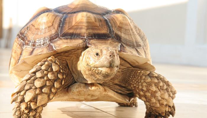 สัตว์เลี้ยงแปลกๆ ที่ไม่คิดว่าจะนำมาเลี้ยงได้ ชนิดแรกที่แอดอยากจะมาแนะนำ คือ เต่ายักษ์ซูลคาต้า เต่าเป็นสัตว์ที่มีอายุยืนยาวมาก