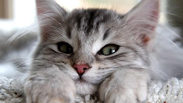 พฤติกรรมของแมว ที่แมวชอบมา ครางเสียงเบา