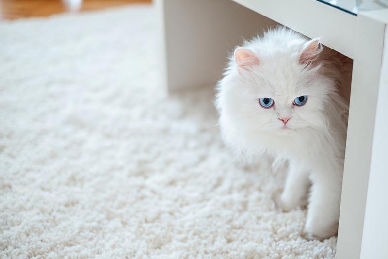 แมวสายพันธุ์ไหนเหมาะกับคุณที่สุด แมวที่ชอบอยู่กับคน ขี้เล่น สายพันธุ์ที่สาม คือ แมวพันธุ์เปอร์เซีย