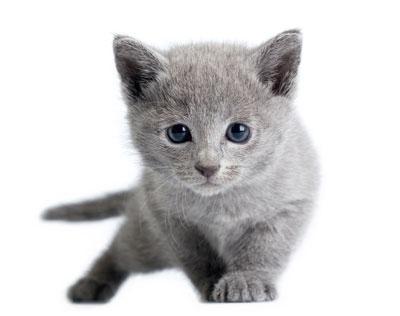 แมวสายพันธุ์ไหนเหมาะกับคุณที่สุด แมวที่ชอบอยู่กับคน ขี้เล่น สายพันธุ์ที่ห้า คือ แมวรัสเซียนบลู