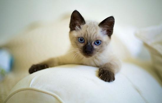แมวสายพันธุ์ที่ฉลาดที่สุดในโลก