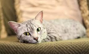 แมวสายพันธุ์ไหนเหมาะกับคุณที่สุด