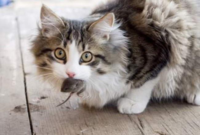 พฤติกรรมของแมว ที่แมวชอบมา เอาเหยื่อที่ล่ามาให้