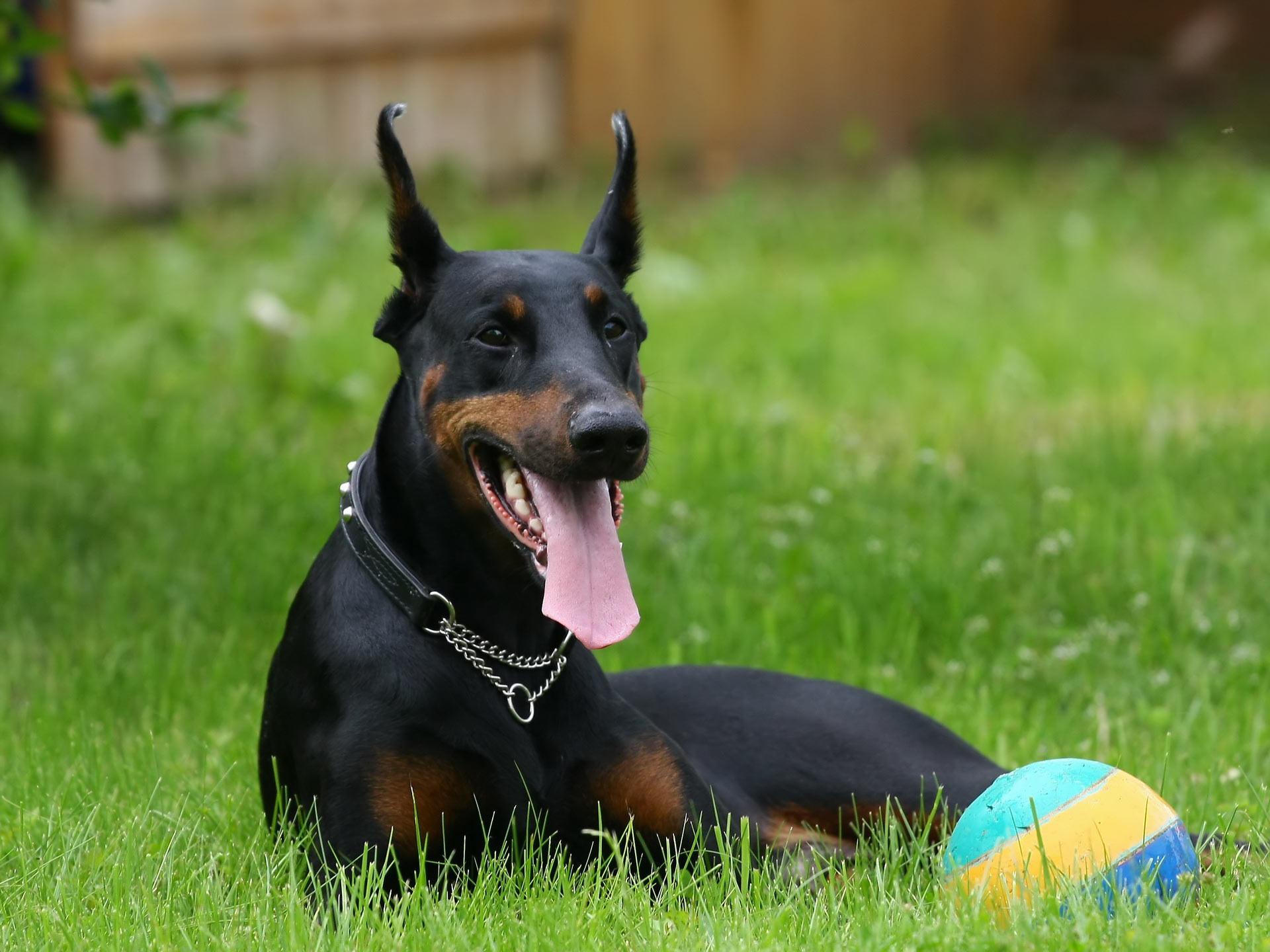 โดเบอร์แมน พรินเชอร์ สายพันธุ์ของสุนัขเก้าชีวิต